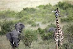 elefantes-y-jirafas-kenia