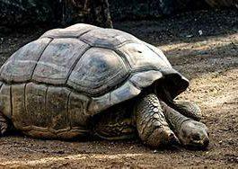 tortuga-galápagos